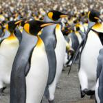 king_penguins_2994397
